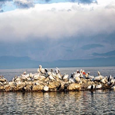 Silver pelicans on Lake Kerkini